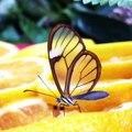 Ce magnifique papillon a les ailes transparentes