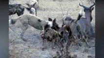 Wild Dogs Hunt and eat Hartebeest ,  wild dogs vs crocodile vs lion wild animal fight  video ,  wild dogs vs tsesseble  most amazing wild dog attack and kill videos