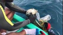 Piégée cette petite tortue est sauvée d'un filet de pêche en plein océan
