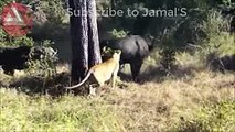 Wild Animals Fighting - Lion vs Baboon, Buffalo, Video African Animals