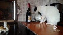 Ce chat boit dans l'aquarium directement !! Attention au poisson