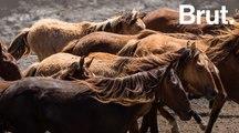 Les chevaux sauvages des Marquises en Polynésie française