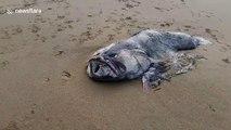 Découverte d'un monstre marin de plus de 2m - Poisson préhistorique