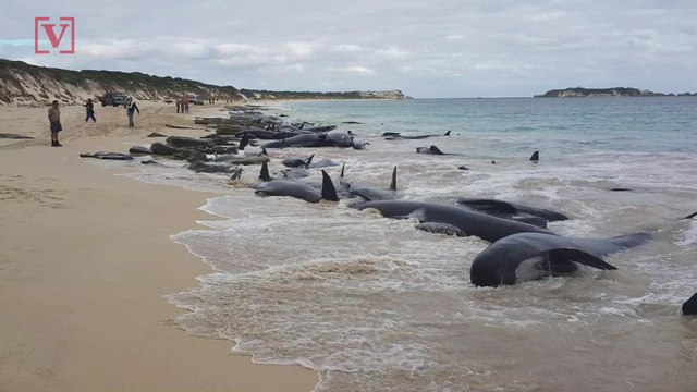 150 Whales Stranded On An Australian Beach And Now the Race to Save Survivors