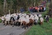 VIDÉO. Vasles (79) : A la découverte de la transhumance de Mouton Village