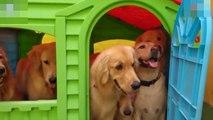 Dog daycare shares video of playhouse filled with pups  / Chien de garde partage la vidéo de la cabane remplie de chiots