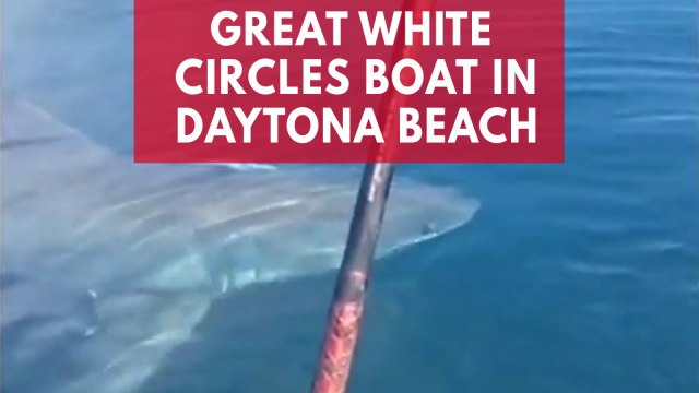 Terrifying video shows great white shark circling around tiny boat