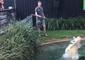 Cranky Croc Elvis Steals and Chomps on Pool Scoop