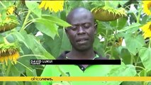 Kenyan farmers shift focus to high yield hybrid sunflowers