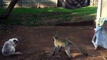 Chat VS singe : faut pas embeter le minou