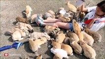 Voici Okunoshima, l'île aux lapins... Des vraies peluches partout