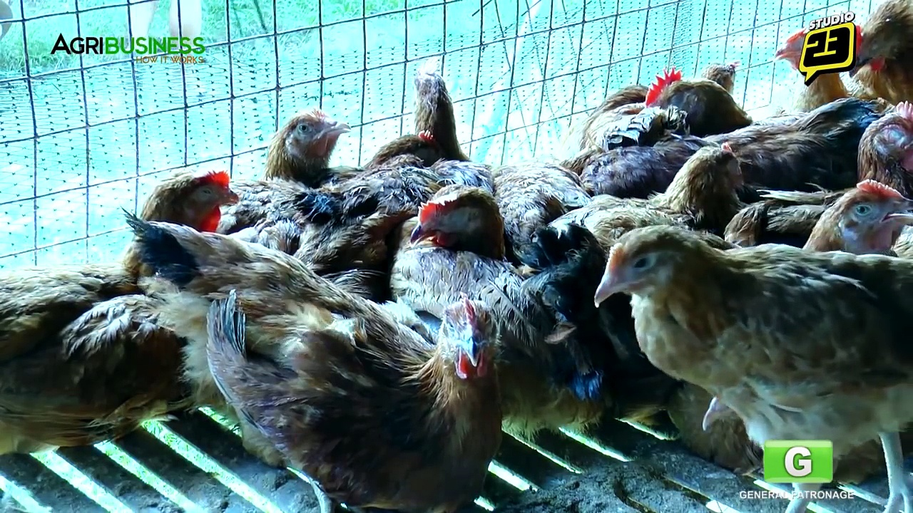 Free Range Chickens Farming Part 1 : Free Range Chickens Farming   Agribusiness Philippines
