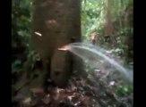 Cet arbre incroyable crache de l'eau en continu !