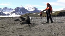 Guide fends off an aggressive male fur seal