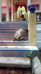虔誠的烏龜