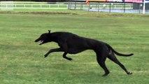 Worlds Fastest Dog: Cheetah vs Greyhound  In Super Slow Motion ...