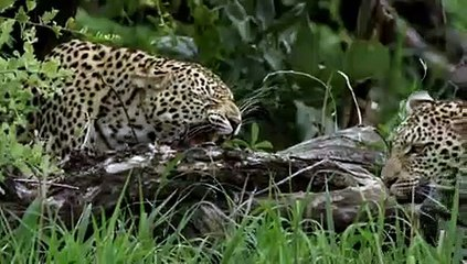 Animal Planet - Wild Africa - Leopard - video dailymotion