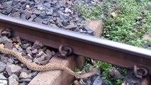 Ce pauvre serpent s'est fait percuter par un train mais a survécu