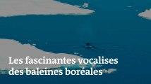 Les fascinantes vocalises des baleines boréales