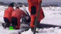 Ces sauveteur font tout pour sauver une orque piéພ dans les glaces en russie