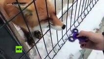 VIRAL: Un zorro se divierte jugando con un 'fidget spinner'
