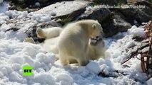 Finlandia: Traen nieve de un centro de esquí en un zoo para osos polares