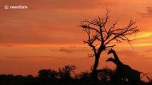 Giraffes pose for silhouette against golden South Africa sunset