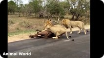 Most Amazing Wild Animal Attacks , 15 CRAZIEST Animal attacks Caught On Camera