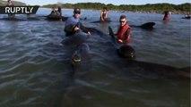 Voluntarios salvan a 100 ballenas en el peor encallamiento en décadas en Nueva Zelanda