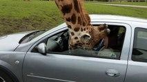 Pauvre girafe! Elle coince sa tête et brise la vitre de cette voiture