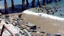 4 chiens idiots contre un banc de de lions de mer. Tellement drole