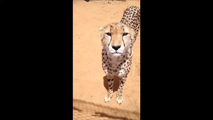 This cheetah tries to be threatening ... It's missed