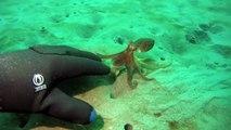 Un petit poulpe vient jouer avec ce plongeur... Adorable