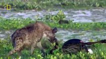 Roar of the Last Lioness - Hunt for a Mate (Nature/Wildlife Documentary)