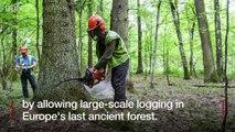 Bialowieza forest - Poland broke EU law by logging