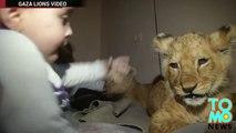 Refugiado palestino compra dos cachorros de león y los lleva a vivir junto a él y su familia