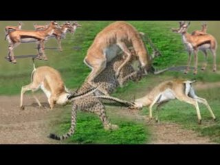 Impala  Fight Back  To Win Over Cheetah