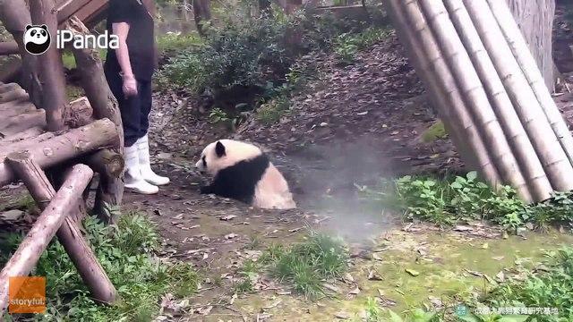 Nanny Helps Adorable Panda Take a Bath