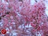 [Nyûsu Show] Les Sakura du parc de Ueno