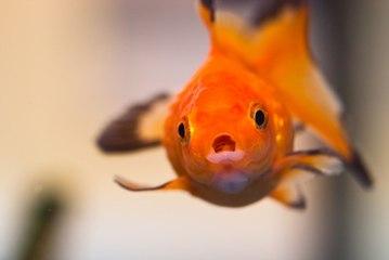 Comment bien nourrir ses poissons ?