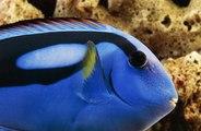 Tout savoir sur le poisson chirurgien bleu