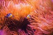 Tout savoir sur les anémones de mer