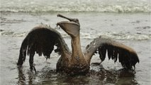 Gulf Residents & Marine Life Continue To Feel Effects Of Oil Spill & Cleanup Chemicals