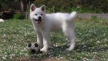 Gli Akita, cani di razza giapponese, spopolano nel mondo