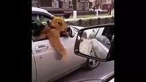 Russie : un automobiliste promène un lion sur le siège passager !