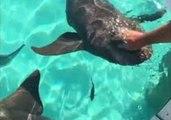Tourists Pet Sharks at Compass Cay