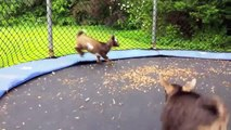 Des chèvres deviennent folles sur ce trampoline... Adorable