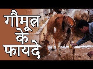 Benefits Of Cow Urine | गौमूत्र के फायदे | Healthy Remedy