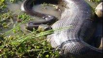 Les plus gros anacondas trouvés dans le monde