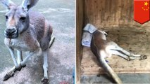 Kangaroo dies after zoo visitors hurl rocks to force it to jump